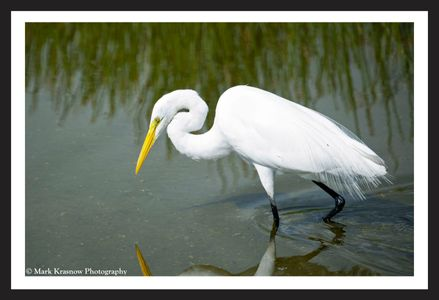 Great Egret Hunting at the Florida Wetlands