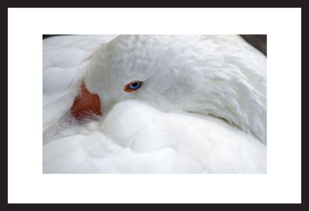 Resting White Goose art print