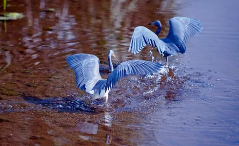 Tricolor Heron chasing Little Blue Heron photo art print
