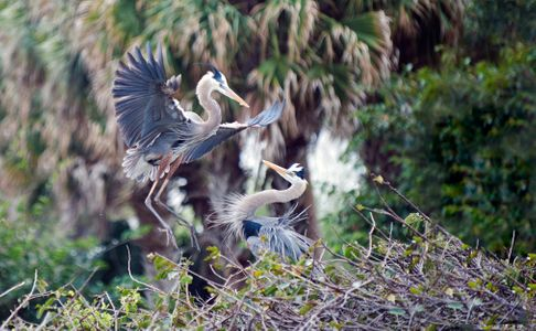 Great Blue Heron mating pair photo art print