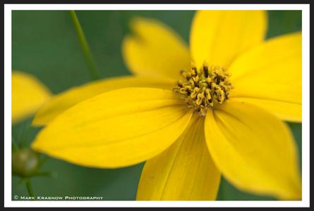Coreopsis Flower macro