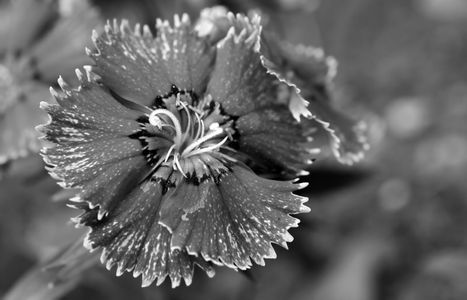 Dianthus flower photography black & white art print