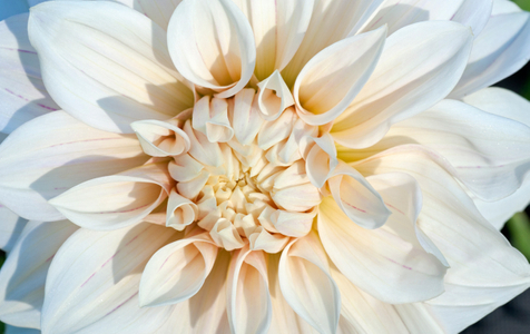 Dahlia flower art print macro for home and office