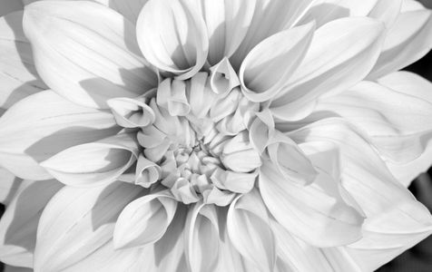 Dahlia flower photography art print in black and white