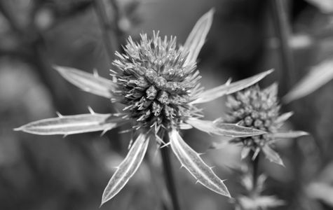 Thistle flower art print macro for home and office - black and white