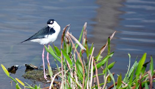 Long-legged Stilt at wetlands in Florida photography art print