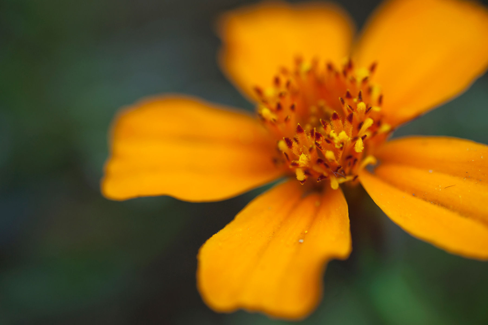 Coreopsis flower art print macro for interior design