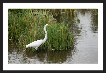 Great Egret wildlife art print