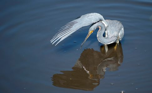 Tricolor Heron using wing to shade sun for hunting art print