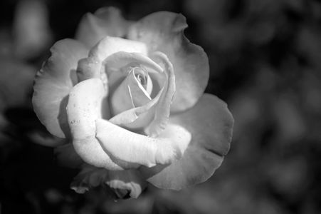 Rose flower Macro black & white photography art print