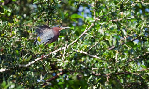 Little Green Heron Photo art print
