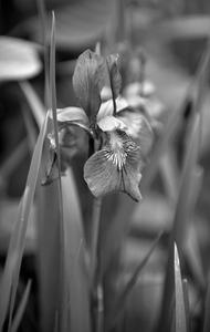 Iris black and white photography art print for interior design