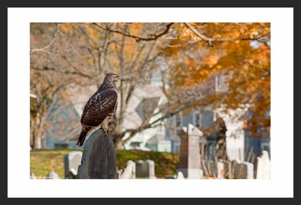 Red Tailed Hawk on Gravestone photo print
