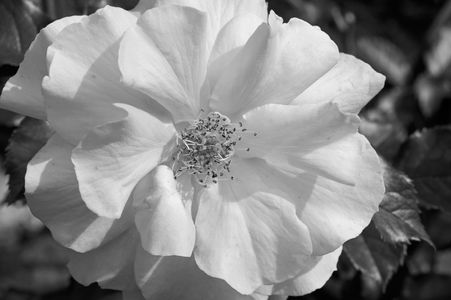 Rose flower photography art print black and white