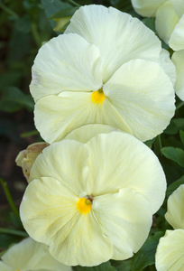Pansy flower art print macro vertical