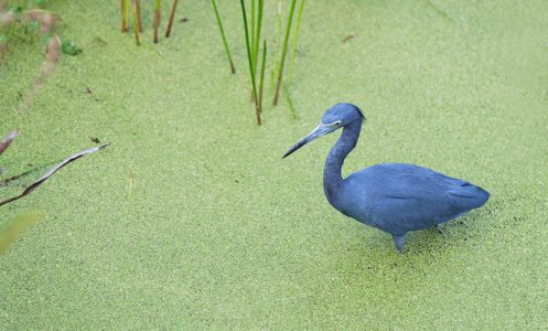 Little Blue Heron hunting at Florida wetlands photography art print