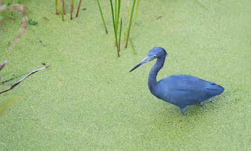 Little Blue Heron hunting at Florida wetlands photography art print