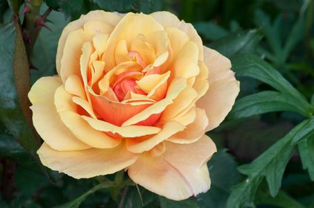 Rose flower photo art print orange 2 tone