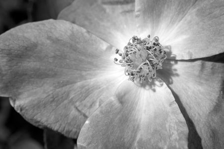 Rose flower art print photograph black & white