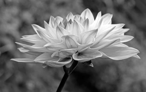 Dahlia flower photography art print in black & white