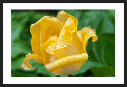 Yellow droplet Tulip flower art prints for interior design
