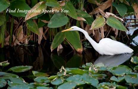 Great Egret at the Florida Wetlands
