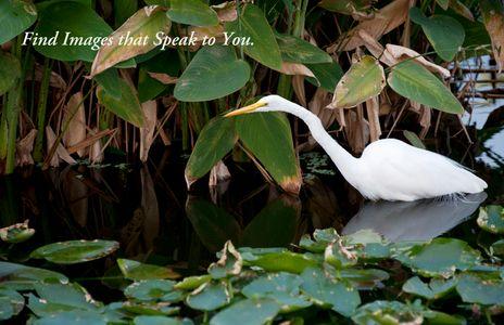 Great Egret at the Florida Wetlands