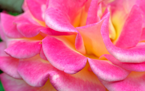 Rose art print photo collection