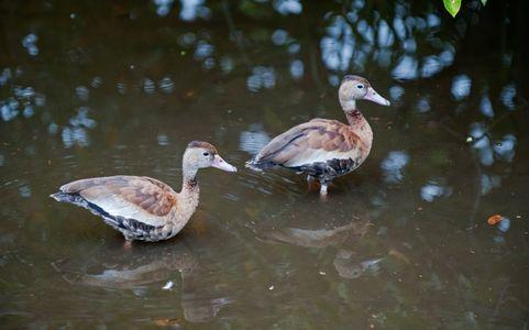Whistling Ducks at Florida wetlands photography art print
