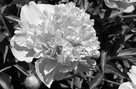 Peony flower photography art print in black and white