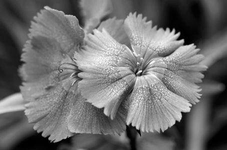 Dianthus flower art print in black & white for home and office