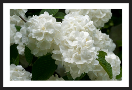 Snow Ball flower art print for home and office