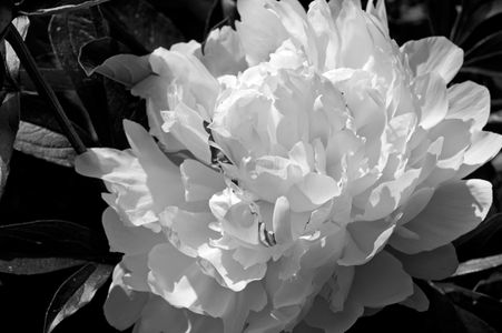 Peony flower art print photograph in black & white
