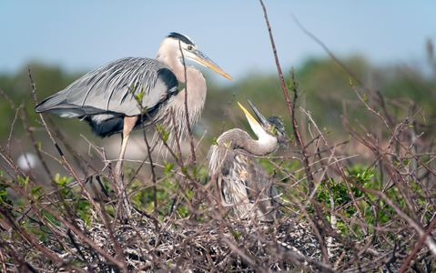 Great Blue Herons photography art print