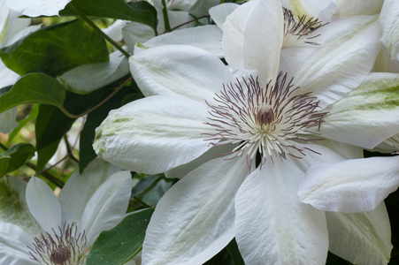 Clematis art print macro for home and office