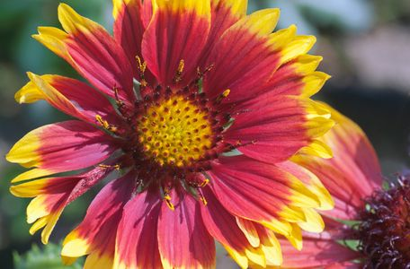 Gaillardia flower photography art print for home and office