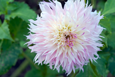 Dahlia flower art prints for display in home or office