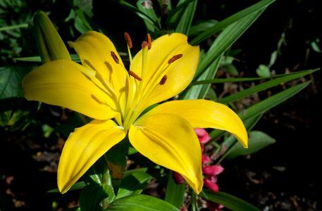 Lilly flower art print for interior design