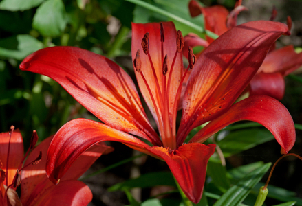 Red & Orange Lilly flower photography art print