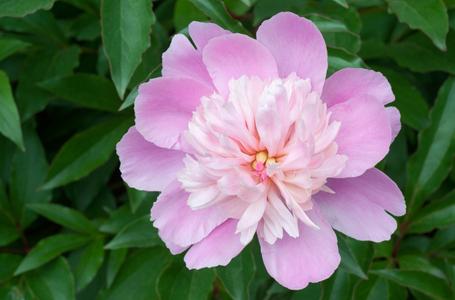 Pink Peony flower photography art print