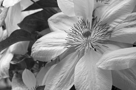 Clematis flower art print in black and white