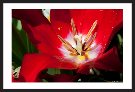 Red Tulip flower photography art print