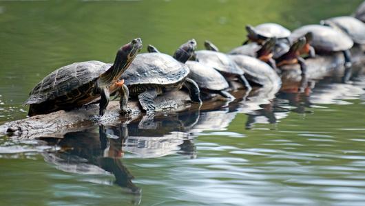 Painted turtles lined up on pond log  art print