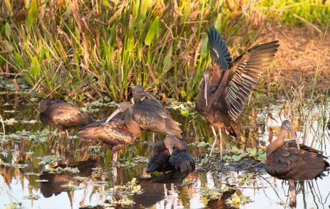 Glossy Ibis at Florida Wetlands art print