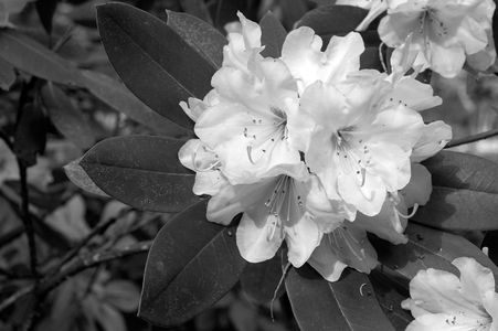 Rhododendron flower art print photo B&W