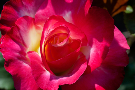 Rose flower photography art print