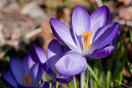 Crocus flower art print for home and office