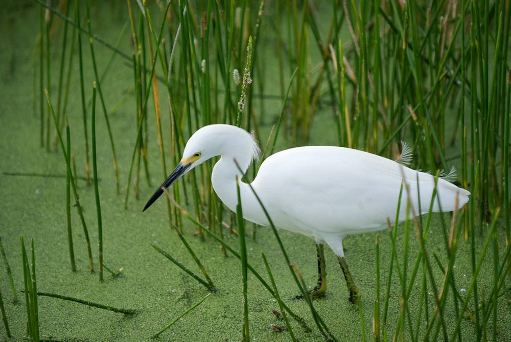 Snowy Egret at wetland in Florida photography art print