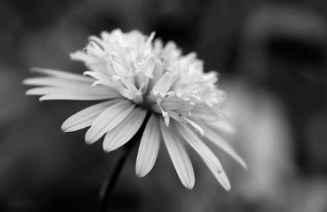 Macro floral black & white photograhy art prints