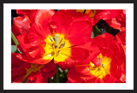 Red and Yellow Tulip flower photography art print for interior design